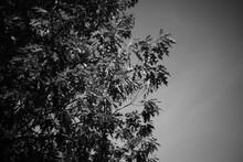 Quercus Rubra, Blätter Im Detail Mit Starker Unschärfe Im Hintergrund