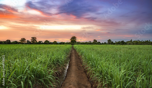 Fotografering Sugarcane field with sunset sky.