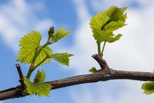 Vine With Green Leaves On A Background Of Sky In Sunny Weather