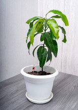 Young Mango Tree Seedling