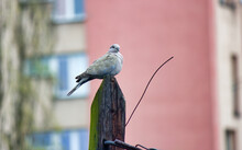 One Eurasian Collared Dove, A Species Of Columbidae Also Known As Turtle Dove With Indian Ring Necked Or Pink Headed Sitting On A Pole In A Residential Area. Selective Focus