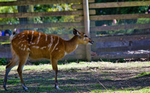 Forest Sitatunga (Tragelaphus Spekii Gratus), Also Known As The Forest Marshbuck Walking On A Grassy Field With It's Tongue Out. Wildlife Animal.