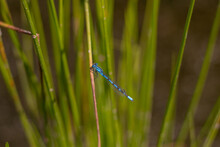 A Single Azure Damselfly Resting On A Grassy Plant (Veluwe, The Netherlands)