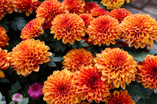 Bunga Krisan Also Known As Seruni In Indonesian. Chryssanths Flowers Is Flowering Plants Of The Genus Chrysanthemum In The Family Asteraceae. Use For Wedding Flowers, Background, Decoration, Etc