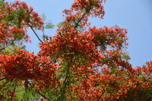 Australia- Close Up Of The Beautiful Blooms Of The Royal Poinciana Tree