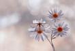 Biały motyl (Siona lineata) na kwiatku Stokrotce