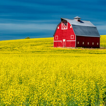 Square Crop Red Barn In A Field Of Yellow Blooming Canola