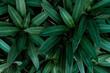 Naturalne zielone tło, zbliżenie na tropikalne liście rośliny.