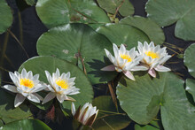 White Water Lily Is A Perennial Aquatic Plant. The Flowers Are Single, Large, 5-20 Cm In Diameter, Weakly Aromatic, Floating, With White Petals Gradually Turning Into Stamens.