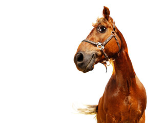 Happy confident funny head of a horse, isolated