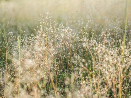 Cuadros en Lienzo 光輝く野草の穂
