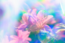 Close-up Of Azalea Flowers In Rainbow Colored Light