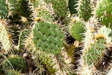 USA, California, Malibu, Blooming Prickly Pear Cactus