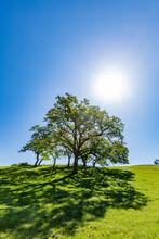 USA, California, Walnut Creek, Sun Shining Above California Oak Trees In Green Field In Springtime