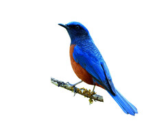 Male Of Chestnut-bellied Rock Thrush (Monticola Rufiventris) Beautiful Blue Bird With Red Belly Perching On Mossy Branch Isolated On White Background, Fascinated Creature