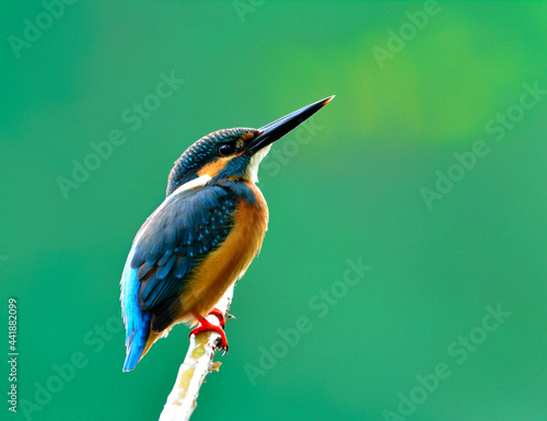 Fotografija Male of Common kingfisher (Alcedo atthis) a beautiful blue bird showing its back