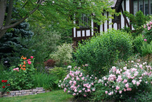 Front Garden With Prolific Rose Bushes