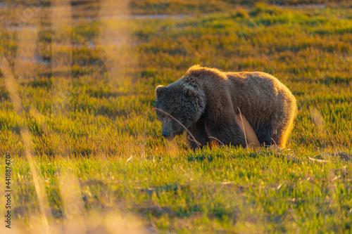 Obraz na plátně Brown Bear in sedge field.