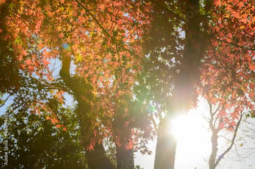 Fotografia 日本庭園:細川刑部邸・秋晴れの日差しを浴びるモミジと紅葉景色 Japanese garden: Hosokawa Penitentiary House, Jap