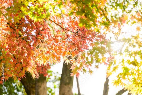 日本庭園:細川刑部邸・秋晴れの日差しを浴びるモミジと紅葉景色 Japanese garden: Hosokawa Penitentiary House, Jap Fototapete