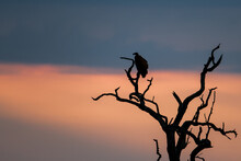 Horizontal Image Of Beautiful Sunset Sky Colours Silhouetting A Lone Vulture Perched In A Dead Tree In Africa.