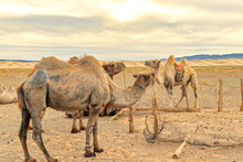 Resting Camels With The Gobi Desert In The Background.
