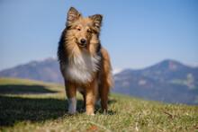 Sable Shetland Sheepdog In The Mountains