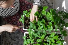 Woman Grows Strawberries In Pots. Growing Berries At Home.