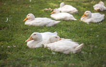 Domestic White Ducks On Green Grass Lawn With Flowers, Organic Natural Breeding