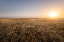 Open Wheat Field At Sunset.
