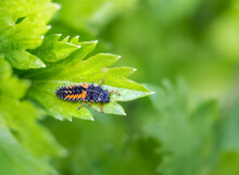 Ladybug Larvae Or Nymph On Celery Stalk Leaf. Black Orange Creepy Looking Bug Beneficial For Any Garden As It Consumes Or Eats Aphids And Other Pests. Selective Focus With Defocused Foliage.