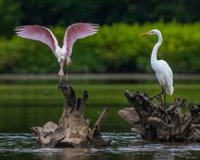 Roseate Spoonbill And Egret On The Lake