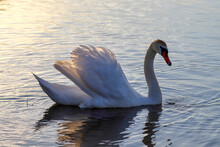 One Swan Swims In The River In The Evening At Sunset