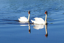 Reflection Of Two White Swans In Blue River Water