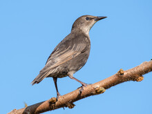 Young Starling Perched In A Tree