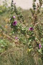 Wild Pink Hollyhocks Flowers In Brittany