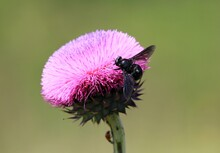 Black Fly (Tabanidae) On A Pink Thistle Flower
