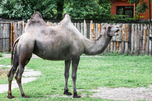 Bactrian Bald Camel Chews Grass With Open Mouth
