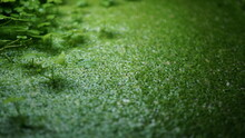 Green Duckweed In The Pond