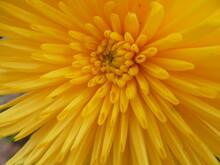 Yellow Gerber Daisy Macro