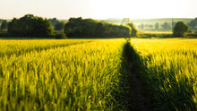 Path In The Green Wheat In Sunset Light, Golden Hour