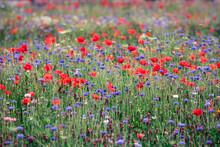 Champ De Fleurs Sauvages: Bleuets Et Coquelicots Symboles De La Biodiversité Et De L'agriculture Biologique