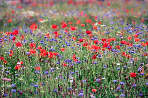 Cuadros en Lienzo champ de fleurs sauvages: bleuets et coquelicots symboles de la biodiversité et