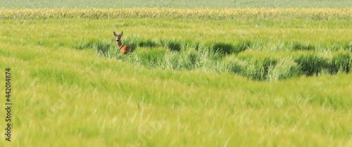 Fotografie, Obraz Young male roe deer (Capreolus capreolus).