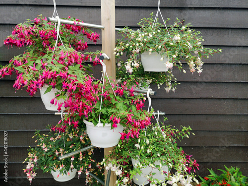 Obraz na płótnie A Mixture Of Pink And White Trailing Fuchsia Plants In Hanging Baskets
