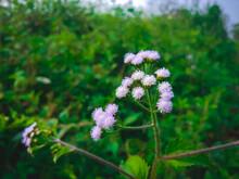 Closeup Shot Of Growing Ageratum Conyzoides Plants