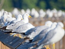 Seagulls Are Very Social  Creatures And They Are Strong Communicators, Signaling One Another With Specific Calls And Even Body Movements.