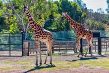 Giraffe At The Werribee Open Range Zoo Melbourne