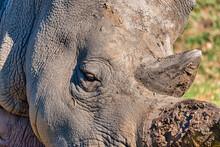 Rhino At The Werribee Open Range Zoo Melbourne