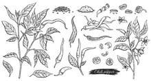 Icons Or Symbols Of Chili Pepper, Color Engraving Vector Illustration Isolated.